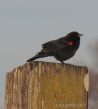 Red-winged blackbird as seen on a sunrise walk