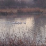 Albino pelicans seen during the Autumnal Equinox sunrise walk