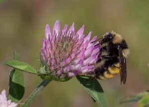 Bombus borealis nectaring Red Clover