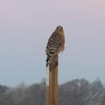 Hawk as seen in an early morning walk in CA